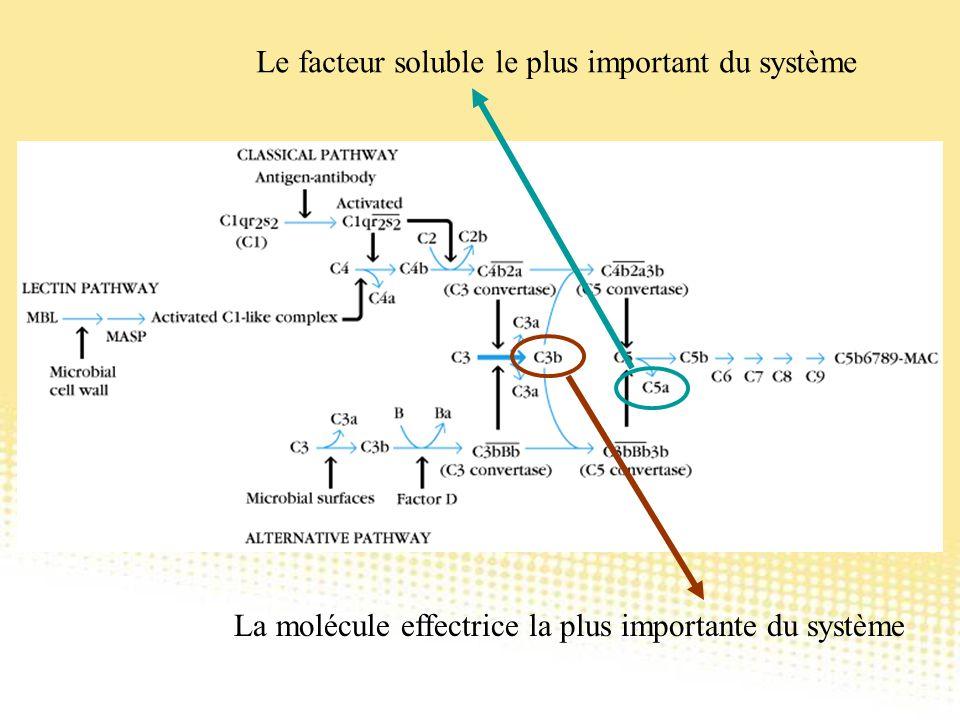 La molécule effectrice la plus importante du système Le facteur soluble le plus important du système