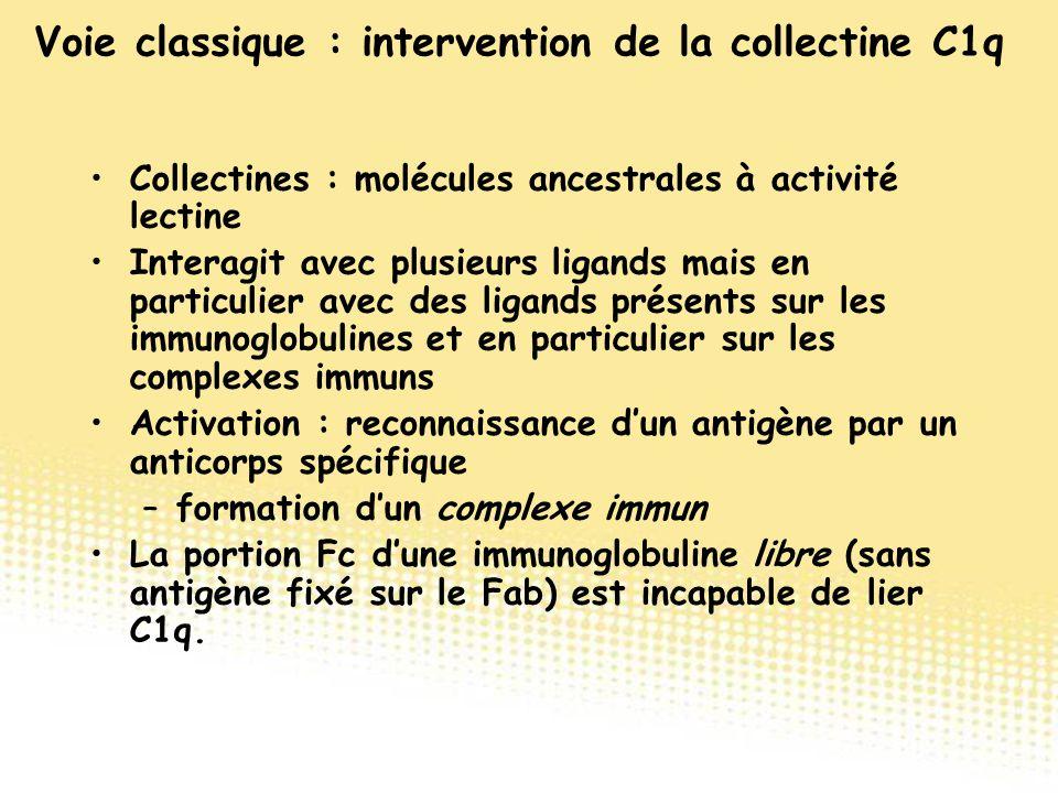 Collectines : molécules ancestrales à activité lectine Interagit avec plusieurs ligands mais en particulier avec des ligands présents sur les immunogl