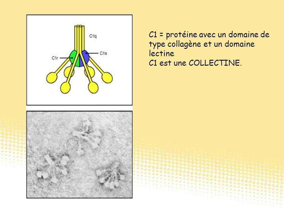 C1 = protéine avec un domaine de type collagène et un domaine lectine C1 est une COLLECTINE.