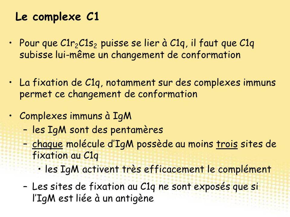 Pour que C1r 2 C1s 2 puisse se lier à C1q, il faut que C1q subisse lui-même un changement de conformation La fixation de C1q, notamment sur des comple