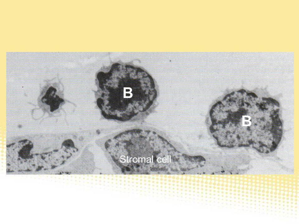 B B Stromal cell