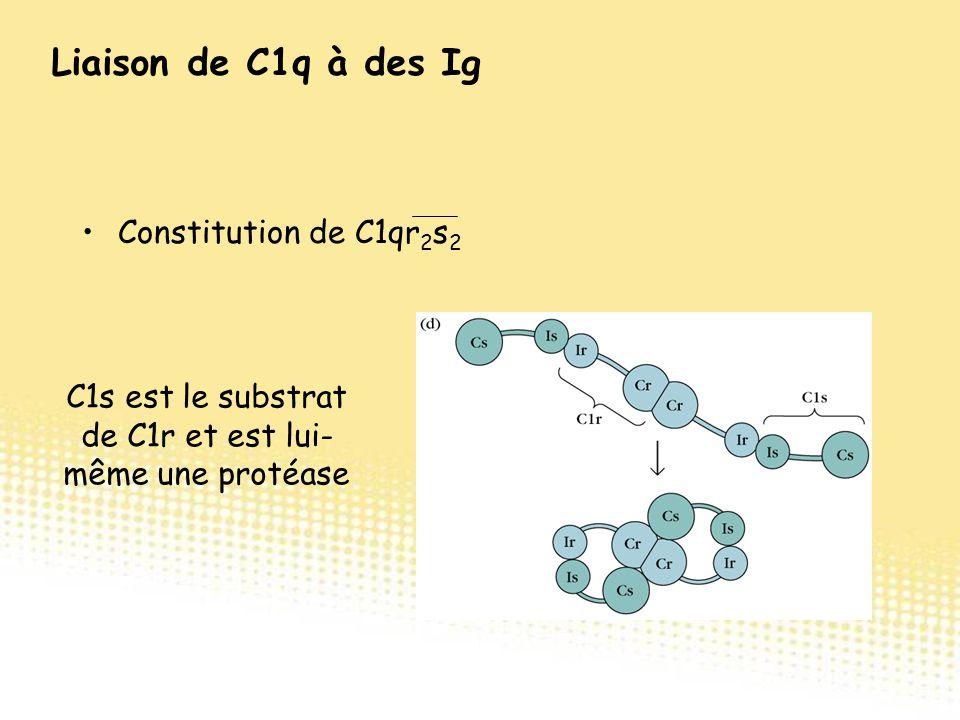 Constitution de C1qr 2 s 2 C1s est le substrat de C1r et est lui- même une protéase Liaison de C1q à des Ig
