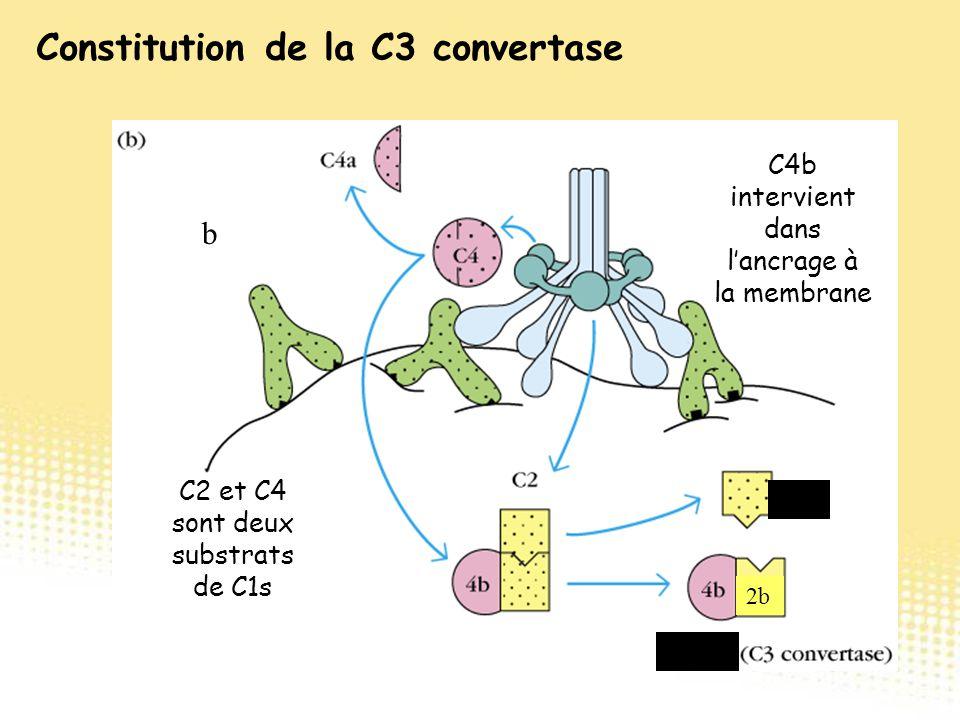 C2 et C4 sont deux substrats de C1s C4b intervient dans l'ancrage à la membrane b C2a 2b C4b2b Constitution de la C3 convertase