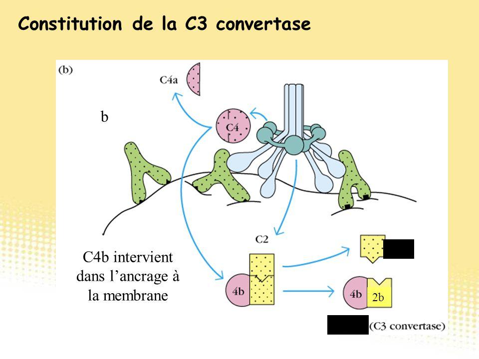 b C2a 2b C4b2b C4b intervient dans l'ancrage à la membrane Constitution de la C3 convertase