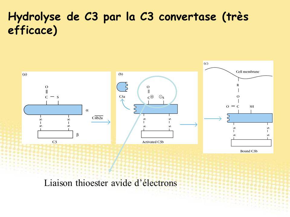 Liaison thioester avide d'électrons Hydrolyse de C3 par la C3 convertase (très efficace)