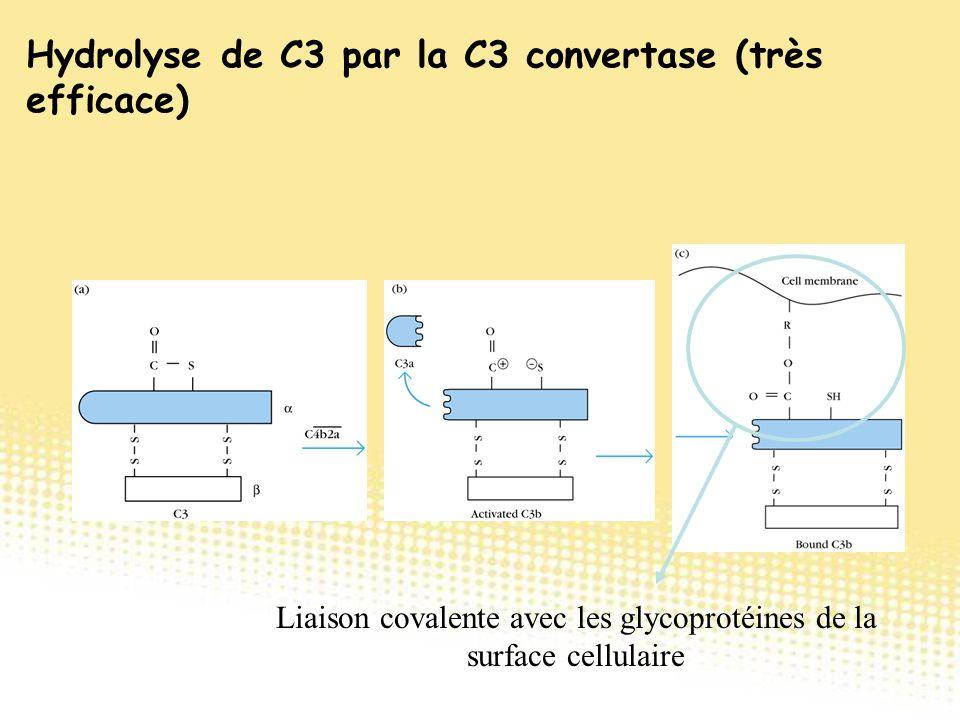 Liaison covalente avec les glycoprotéines de la surface cellulaire Hydrolyse de C3 par la C3 convertase (très efficace)