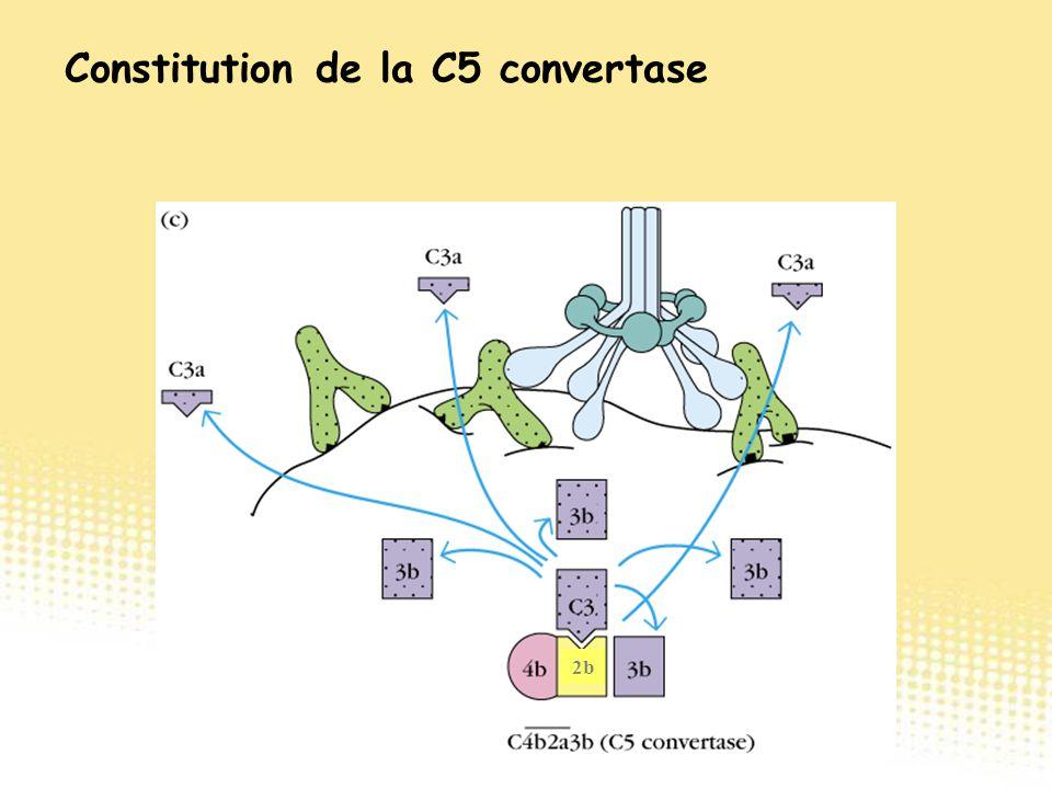 2b Constitution de la C5 convertase