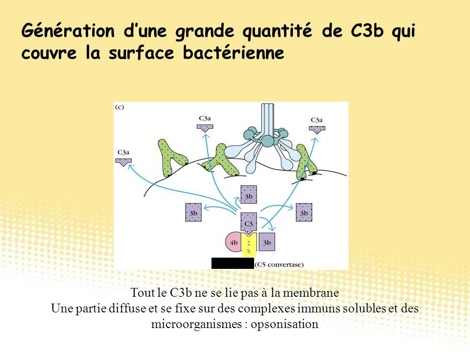 2b2b Tout le C3b ne se lie pas à la membrane Une partie diffuse et se fixe sur des complexes immuns solubles et des microorganismes : opsonisation Gén