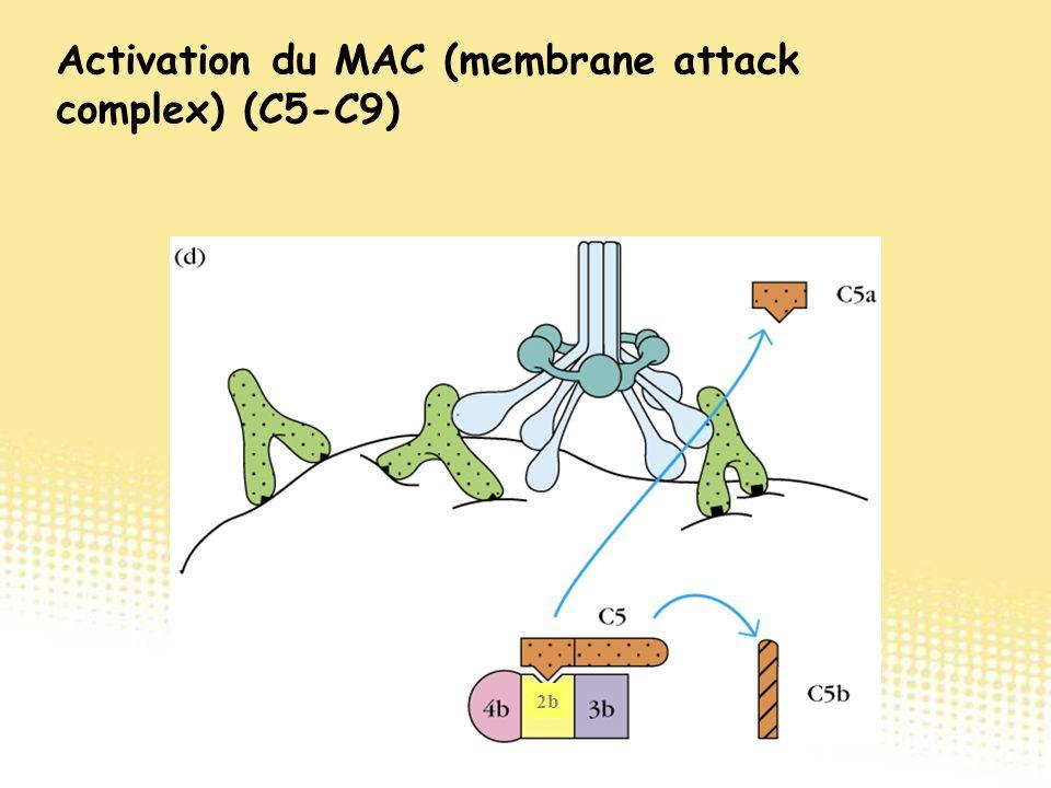 2b Activation du MAC (membrane attack complex) (C5-C9)