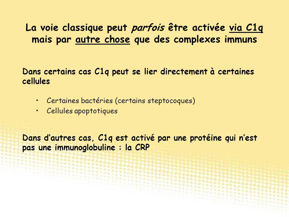 La voie classique peut parfois être activée via C1q mais par autre chose que des complexes immuns Certaines bactéries (certains steptocoques) Cellules