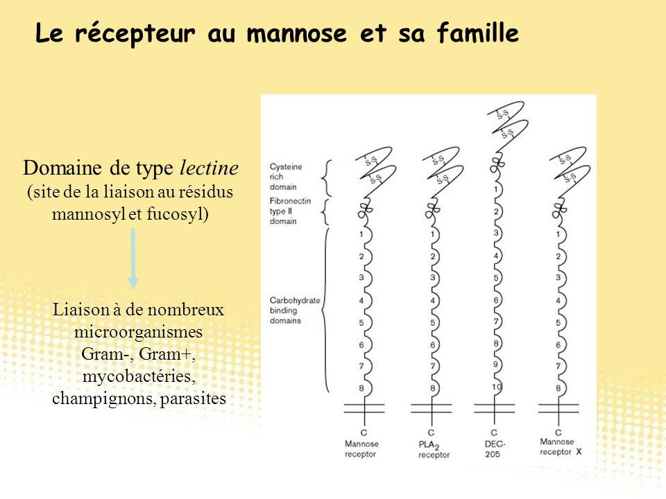 Domaine de type lectine (site de la liaison au résidus mannosyl et fucosyl) Liaison à de nombreux microorganismes Gram-, Gram+, mycobactéries, champig