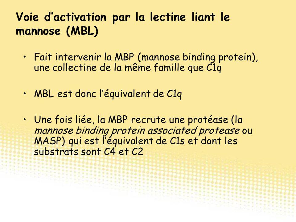 Fait intervenir la MBP (mannose binding protein), une collectine de la même famille que C1q MBL est donc l'équivalent de C1q Une fois liée, la MBP rec