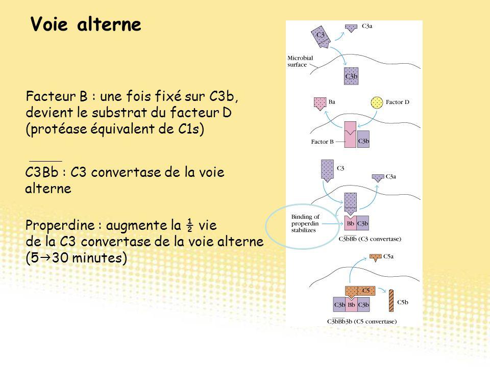 Facteur B : une fois fixé sur C3b, devient le substrat du facteur D (protéase équivalent de C1s) C3Bb : C3 convertase de la voie alterne Properdine :