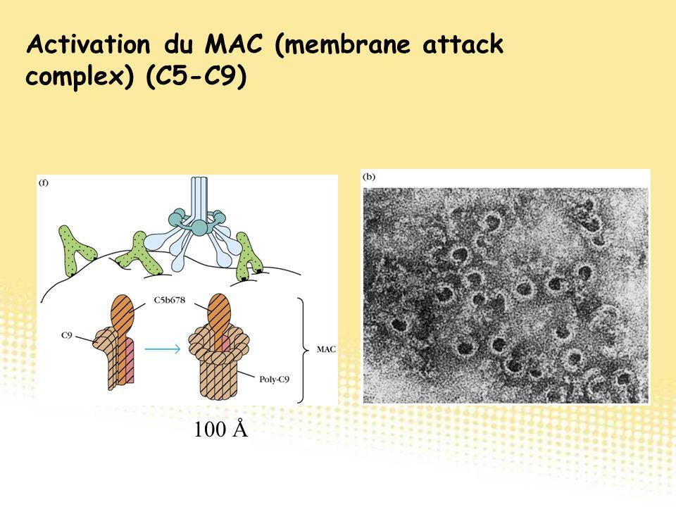 100 Å Activation du MAC (membrane attack complex) (C5-C9)
