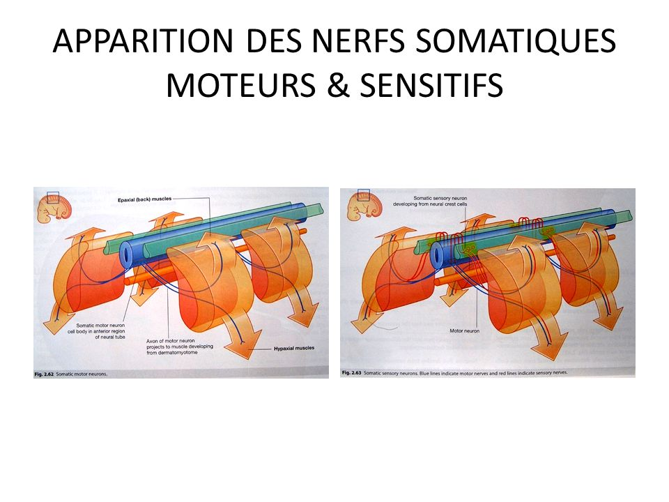 NAISSANCE DES NERFS SOMATIQUES