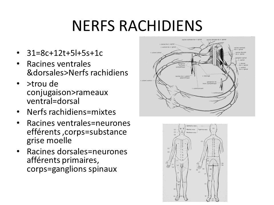 description Dans=Canal vertébral Continue=Bulbe rachidien du tronc cérébral 2 renflements=cervical+ lombaires=plexus Cône médullaire>queue de cheval Croissance>décalage vertèbres-racines médullaires Terminaison=L1-L2