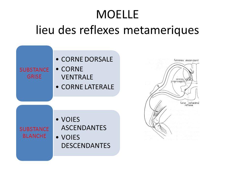 MOELLE SUBSTANCE GRISE CORNE DORSALE CORNE VENTRALE CORNE LATERALE SUBSTANCE GRISE VOIES ASCENDANTES VOIES DESCENDANTES SUBSTANCE BLANCHE H,ailes papillon 2 cornes dorsales=arrivée fibres afférentes 2 cornes ventrales=corps cellulaires motoneurones>muscles 2 cornes latérales(thoraco- lombaires)=corps cellulaires sympathiques pré ganglionnaires