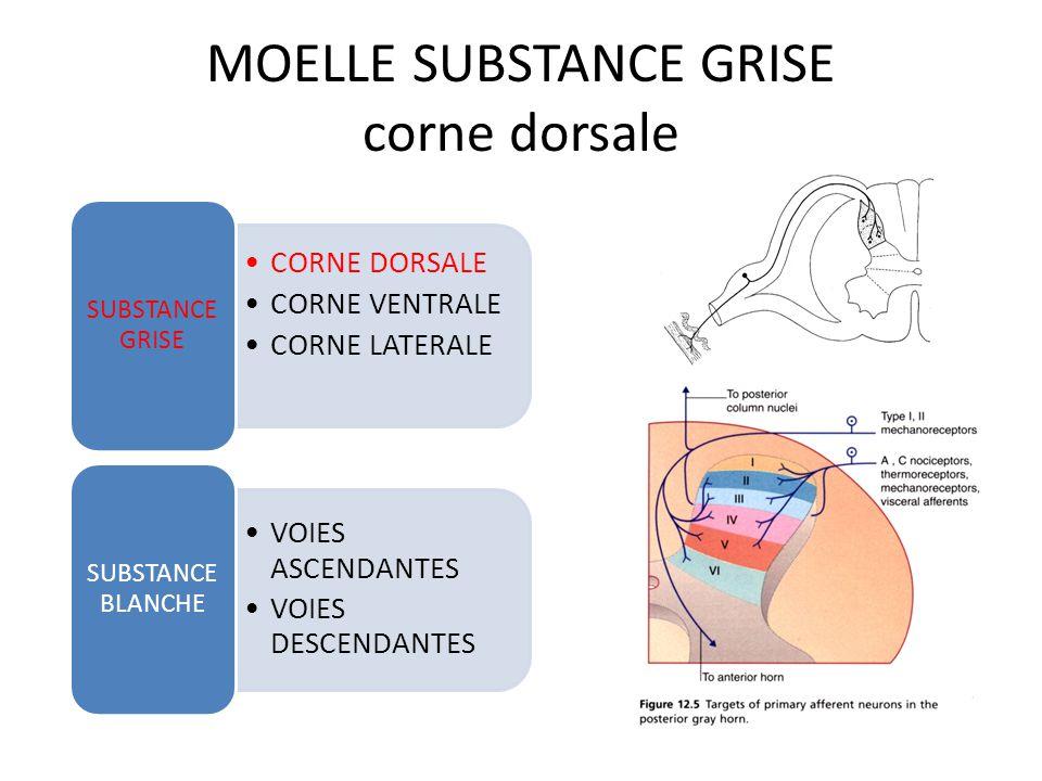 MOELLE VUE GENERALE CORNE DORSALE CORNE VENTRALE CORNE LATERALE SUBSTANCE GRISE VOIES ASCENDANTES VOIES DESCENDANTES SUBSTANCE BLANCHE