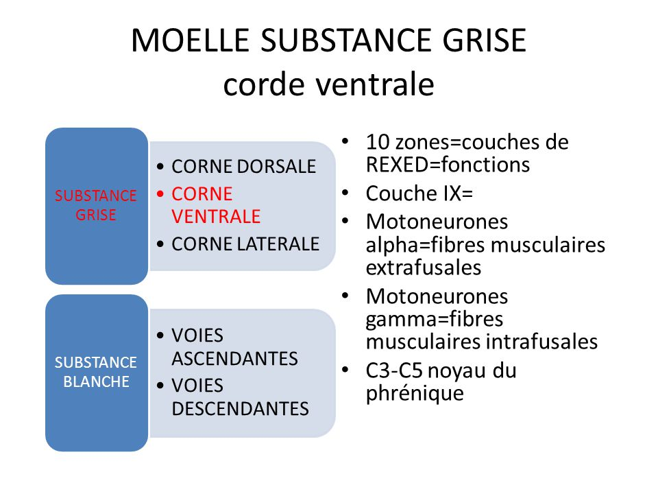 MOELLE SUBSTANCE GRISE corde dorsale CORNE DORSALE CORNE VENTRALE CORNE LATERALE SUBSTANCE GRISE VOIES ASCENDANTES VOIES DESCENDANTES SUBSTANCE BLANCH