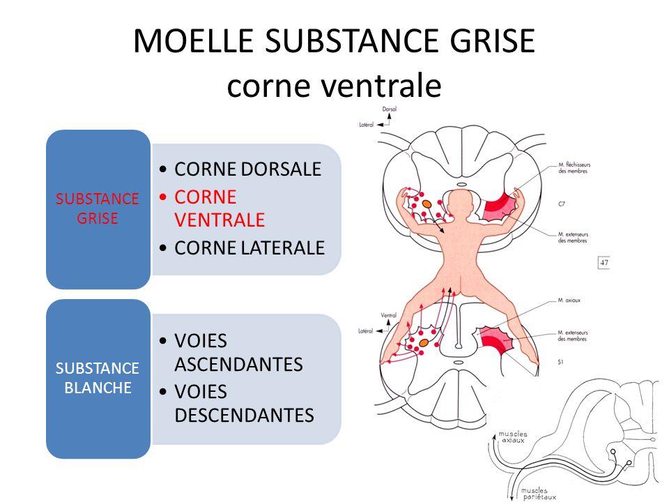 MOELLE SUBSTANCE GRISE corde ventrale CORNE DORSALE CORNE VENTRALE CORNE LATERALE SUBSTANCE GRISE VOIES ASCENDANTES VOIES DESCENDANTES SUBSTANCE BLANCHE 10 zones=couches de REXED=fonctions Couche IX= Motoneurones alpha=fibres musculaires extrafusales Motoneurones gamma=fibres musculaires intrafusales C3-C5 noyau du phrénique