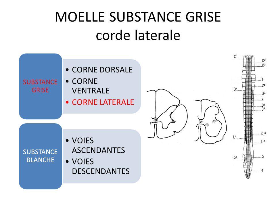 MOELLE SUBSTANCE GRISE corne ventrale CORNE DORSALE CORNE VENTRALE CORNE LATERALE SUBSTANCE GRISE VOIES ASCENDANTES VOIES DESCENDANTES SUBSTANCE BLANCHE