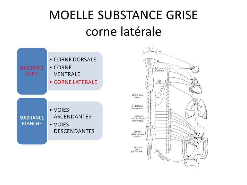MOELLE SUBSTANCE GRISE corde laterale CORNE DORSALE CORNE VENTRALE CORNE LATERALE SUBSTANCE GRISE VOIES ASCENDANTES VOIES DESCENDANTES SUBSTANCE BLANC