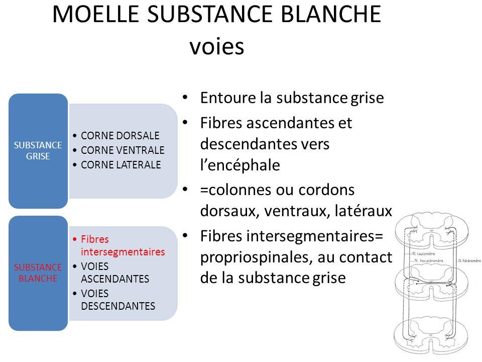 MOELLE SUBSTANCE GRISE corne latérale CORNE DORSALE CORNE VENTRALE CORNE LATERALE SUBSTANCE GRISE VOIES ASCENDANTES VOIES DESCENDANTES SUBSTANCE BLANCHE