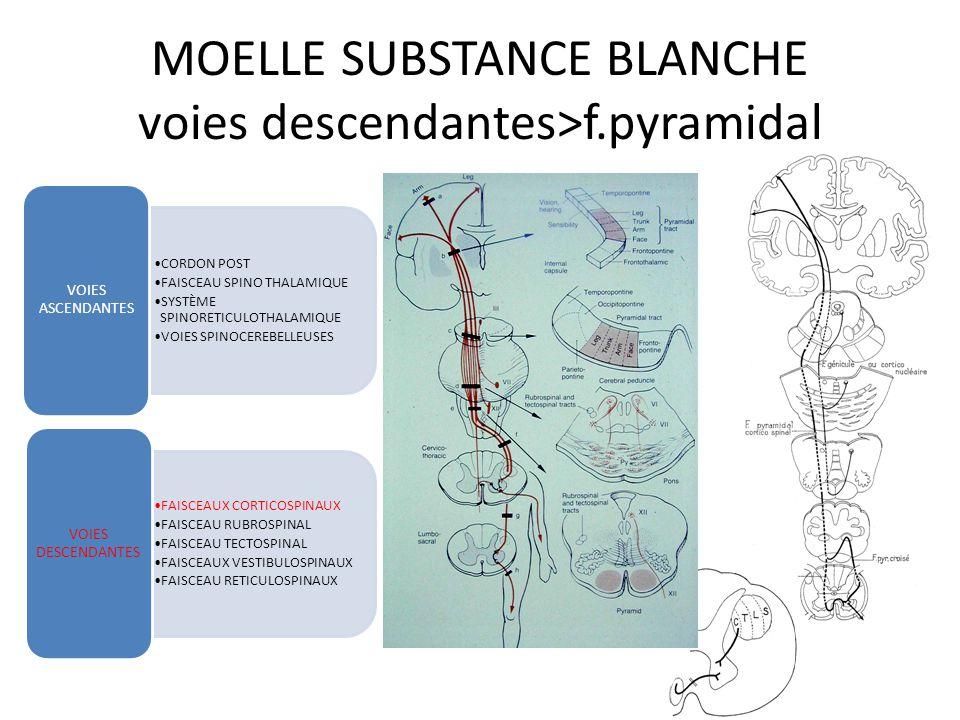 MOELLE SUBSTANCE BLANCHE voies descendantes>f.pyramidal CORDON POST FAISCEAU SPINO THALAMIQUE SYSTÈME SPINORETICULOTHALAMIQUE VOIES SPINOCEREBELLEUSES