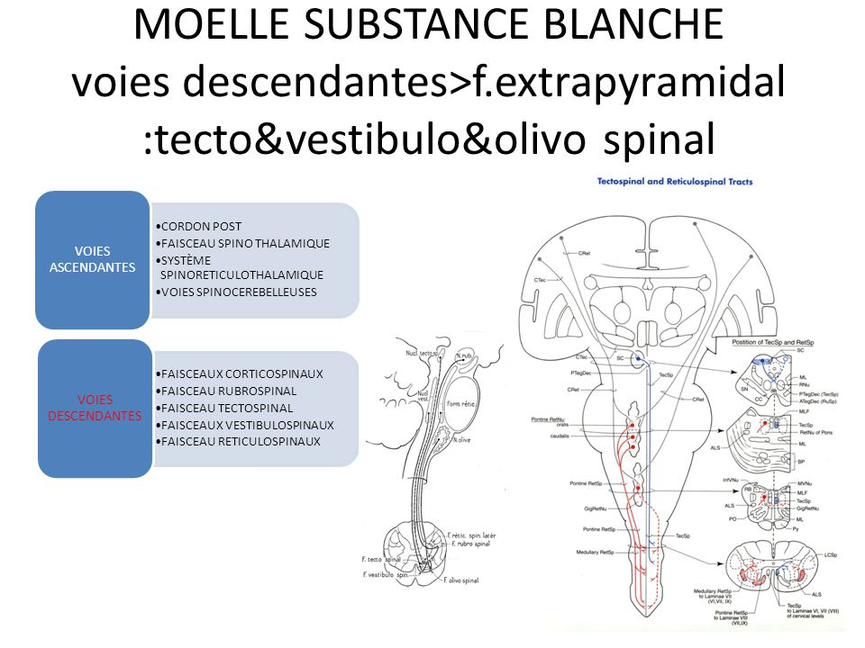 MOELLE SUBSTANCE BLANCHE voies descendantes>f.extrapyramidal Substance réticulée Pont+bulbe Faisceau réticulo spinal médian&latéral Corne ant >motoneu