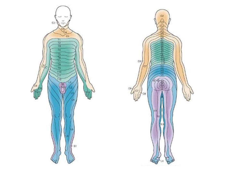 MOELLE SUBSTANCE BLANCHE voies ascendantes CORNE DORSALE CORNE VENTRALE CORNE LATERALE SUBSTANCE GRISE VOIES ASCENDANTES VOIES DESCENDANTES SUBSTANCE BLANCHE Récepteurs algiques, thermiques, tactiles, musculaires, articulaires 3 neurones: neurone premier ordre ganglion spinal entre dans la moelle Neurone second ordre moelle>thalamus/decusse+ Neurone troisième ordre thalamus>cortex pariétal