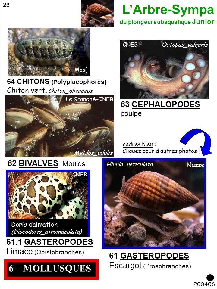 L'Arbre-Sympa du plongeur subaquatique Junior 28 6 – MOLLUSQUES 200406 Mos( 64 CHITONS (P olyplacophores) Chiton vert, Chiton_olivaceus 63 CEPHALOPODE