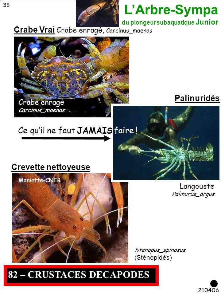 L'Arbre-Sympa du plongeur subaquatique Junior 38 210406 Maniette-CNEB 82 – CRUSTACES DECAPODES Crabe Vrai Crabe enrag é, Carcinus_maenas Stenopus_spin