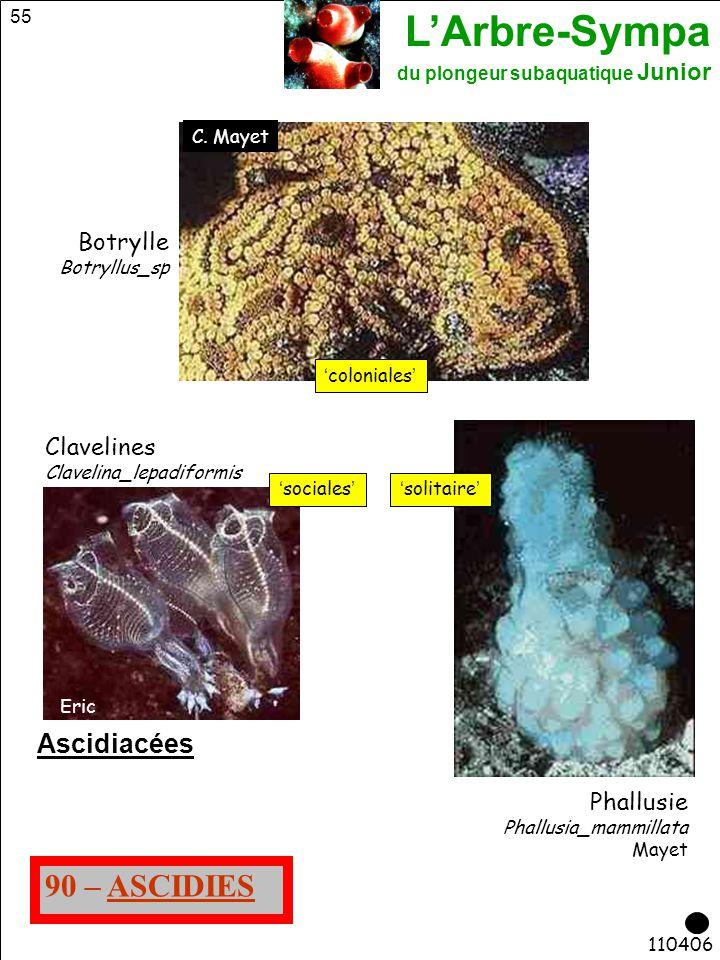 L'Arbre-Sympa du plongeur subaquatique Junior 55 110406 90 – ASCIDIES Phallusie Phallusia_mammillata Mayet Ascidiacées Botrylle Botryllus_sp Claveline