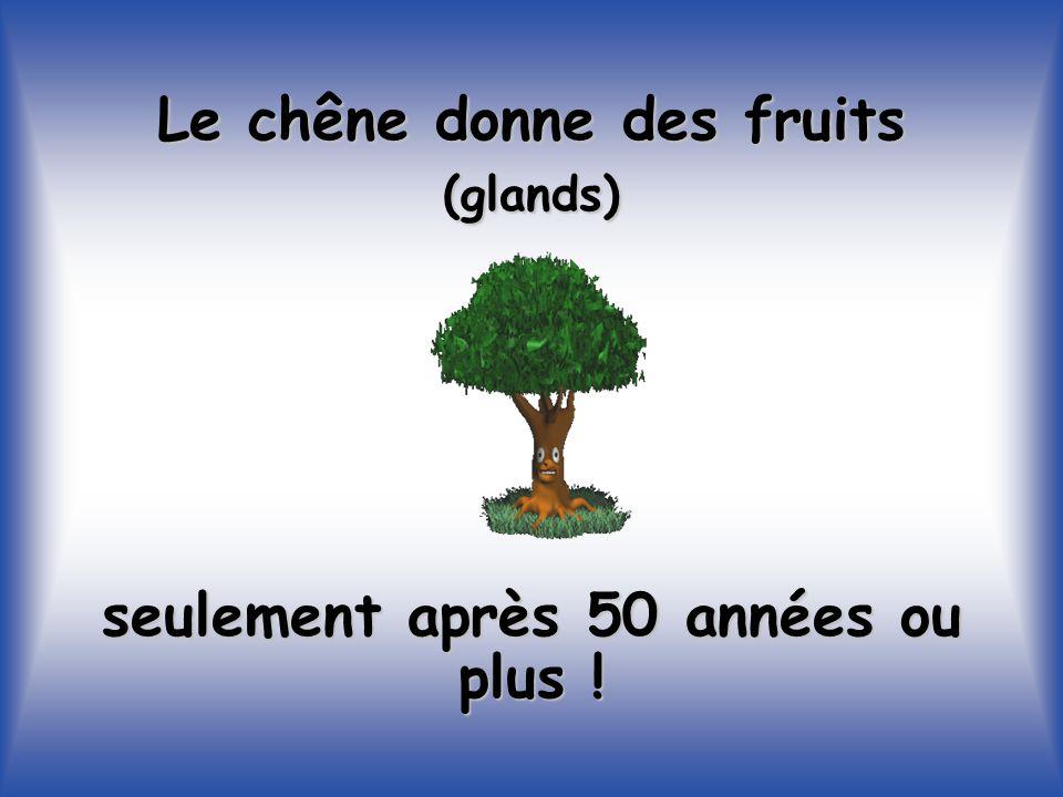 Le chêne donne des fruits (glands) seulement après 50 années ou plus !