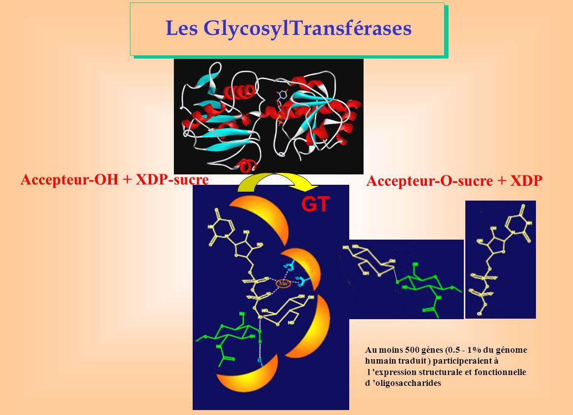 Mn 1 Accepteur-O-sucre + XDP Accepteur-OH + XDP-sucre Au moins 500 gènes (0.5 - 1% du génome humain traduit ) participeraient à l 'expression structurale et fonctionnelle d 'oligosaccharides GT Les GlycosylTransférases