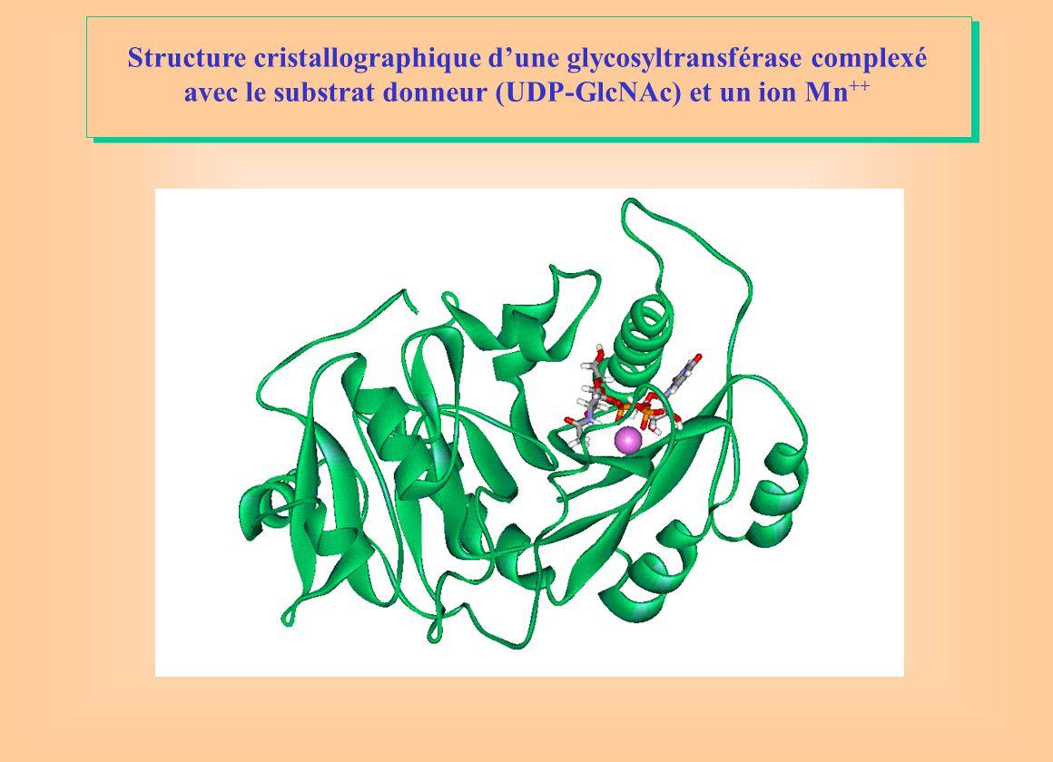 Structure cristallographique d'une glycosyltransférase complexé avec le substrat donneur (UDP-GlcNAc) et un ion Mn ++