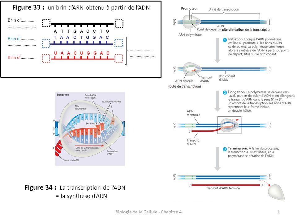 Biologie de la Cellule - Chapitre 41 Figure 33 : un brin d'ARN obtenu à partir de l'ADN A TCTCGTGA U AGAGCACU T AGAGCACT Brin d'…………. ……………………. Brin d