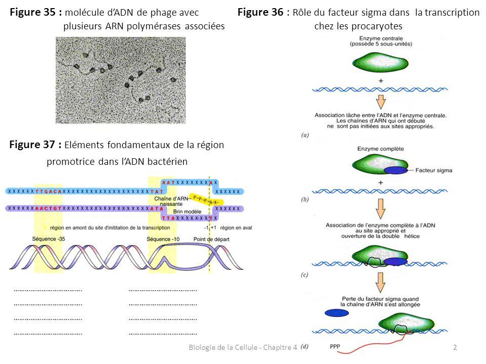 Biologie de la Cellule - Chapitre 42 Figure 35 : molécule d'ADN de phage avec plusieurs ARN polymérases associées Figure 36 : Rôle du facteur sigma da