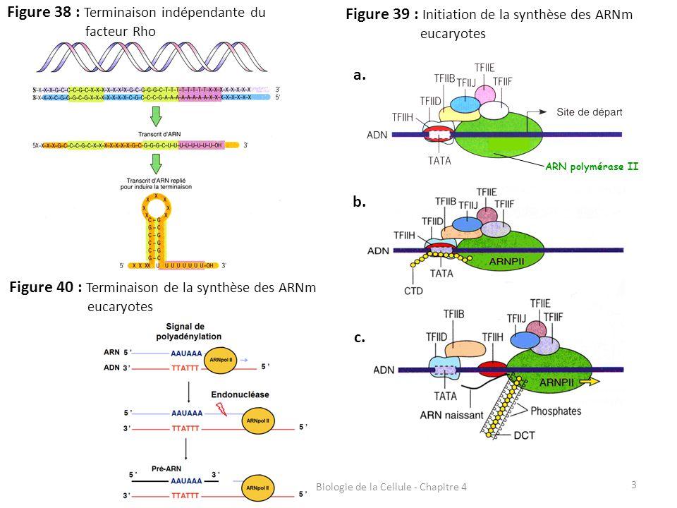 3 Figure 38 : Terminaison indépendante du facteur Rho ARN polymérase II Figure 39 : Initiation de la synthèse des ARNm eucaryotes a. b. c. Figure 40 :