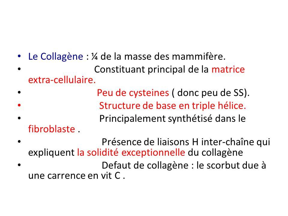 Le Collagène : ¼ de la masse des mammifère. Constituant principal de la matrice extra-cellulaire. Peu de cysteines ( donc peu de SS). Structure de bas