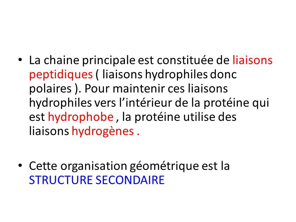 La chaine principale est constituée de liaisons peptidiques ( liaisons hydrophiles donc polaires ). Pour maintenir ces liaisons hydrophiles vers l'int