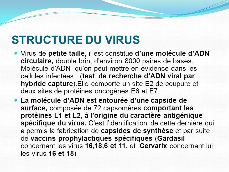 STRUCTURE DU VIRUS Virus de petite taille, il est constitué d'une molécule d'ADN circulaire, double brin, d'environ 8000 paires de bases. Molécule d'A