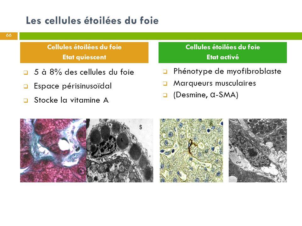 66 Les cellules étoilées du foie  5 à 8% des cellules du foie  Espace périsinusoïdal  Stocke la vitamine A  Phénotype de myofibroblaste  Marqueur
