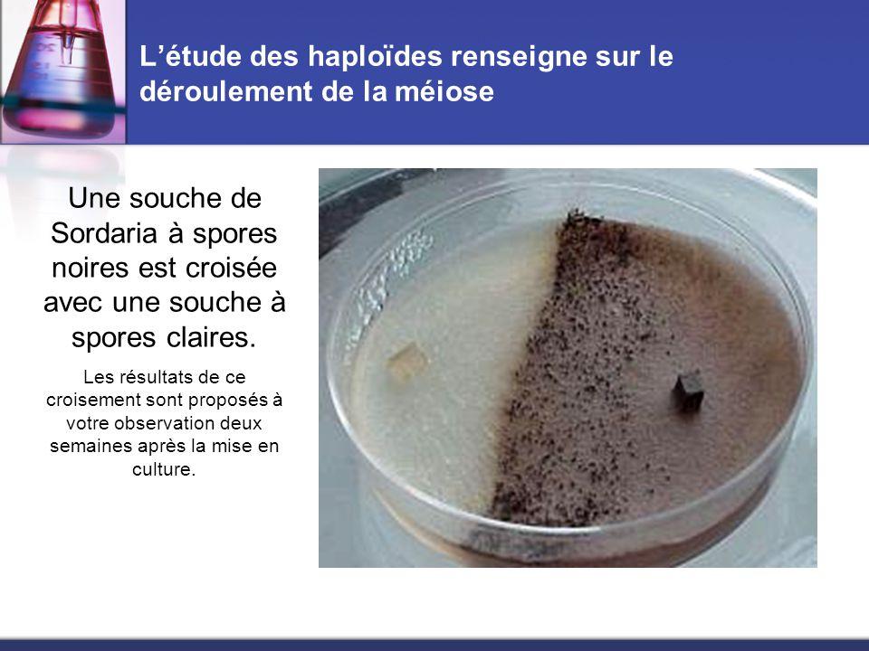 L'étude des haploïdes renseigne sur le déroulement de la méiose Une souche de Sordaria à spores noires est croisée avec une souche à spores claires. L