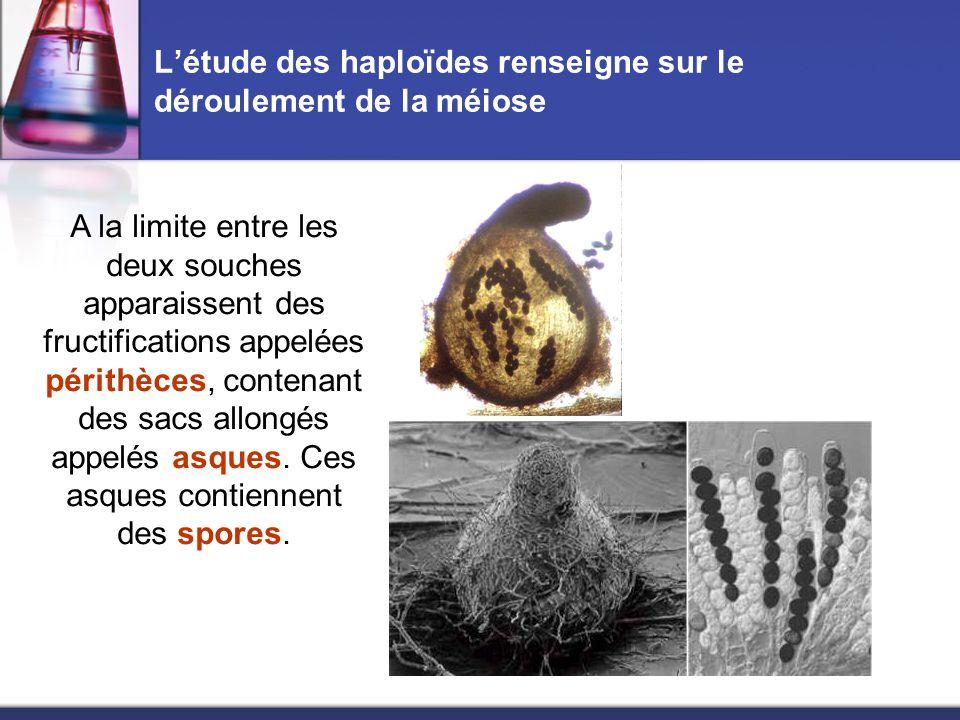 L'étude des haploïdes renseigne sur le déroulement de la méiose A la limite entre les deux souches apparaissent des fructifications appelées périthèce