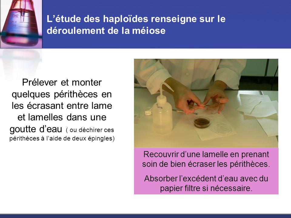 L'étude des haploïdes renseigne sur le déroulement de la méiose Prélever et monter quelques périthèces en les écrasant entre lame et lamelles dans une