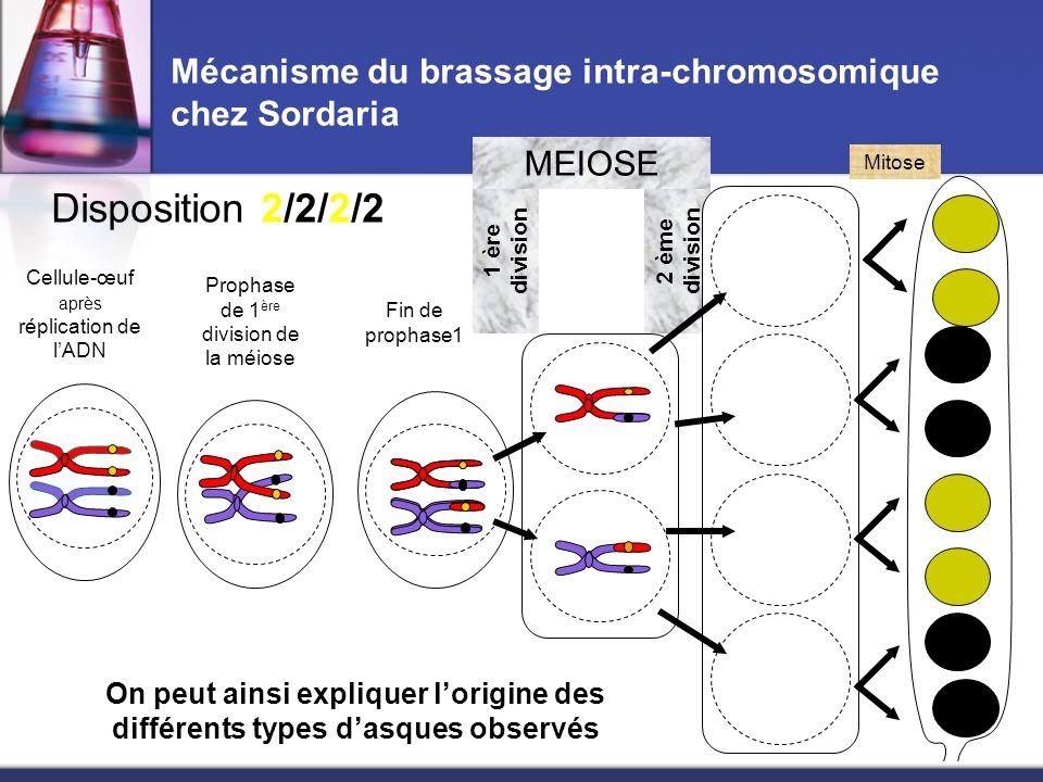 2 ème division Mécanisme du brassage intra-chromosomique chez Sordaria Cellule-œuf après réplication de l'ADN Prophase de 1 ère division de la méiose