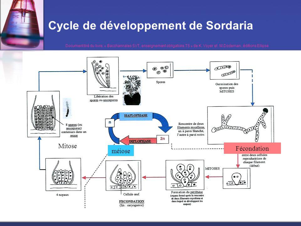 Cycle de développement de Sordaria méiose Mitose Fécondation Document tiré du livre: « Bacchannales SVT, enseignement obligatoire,TS » de K. Voyer et