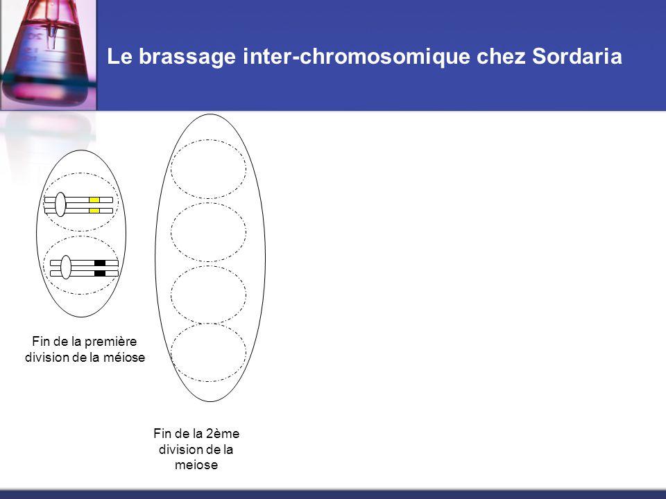 Le brassage inter-chromosomique chez Sordaria Fin de la première division de la méiose Fin de la 2ème division de la meiose