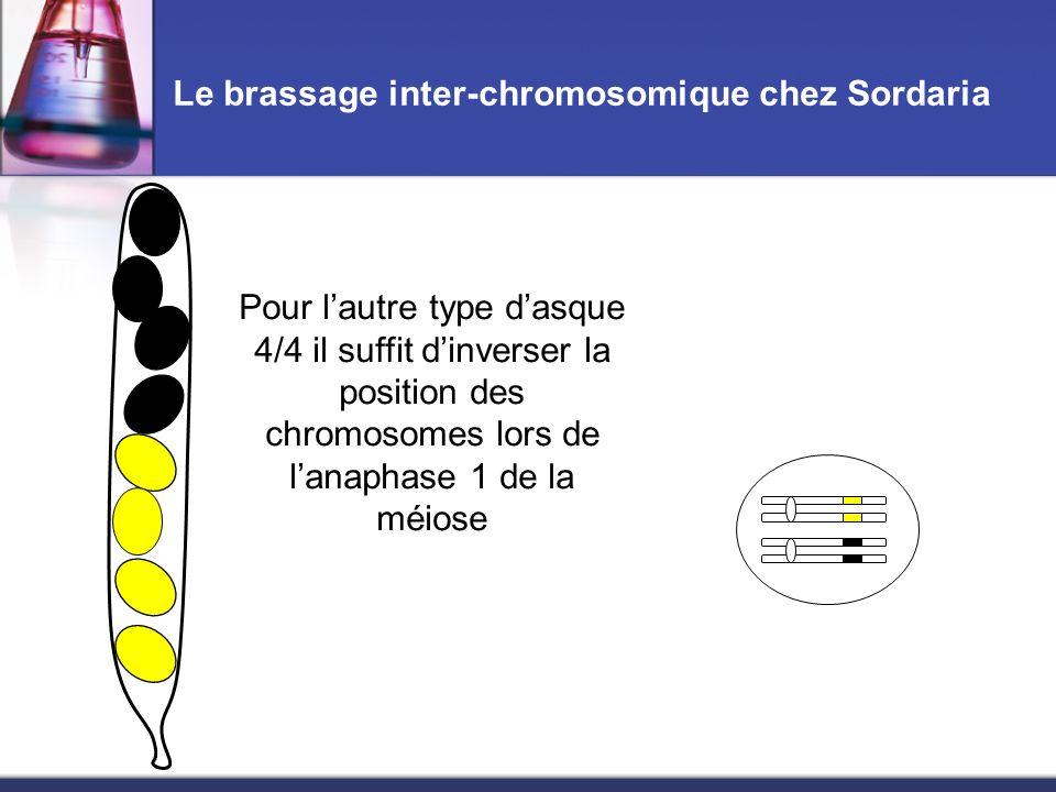 Le brassage inter-chromosomique chez Sordaria Pour l'autre type d'asque 4/4 il suffit d'inverser la position des chromosomes lors de l'anaphase 1 de l